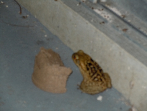 bufo toad, toad, poisonous toad