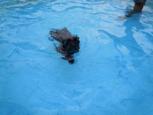 dog, schnauzer swimming, schnauzer