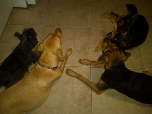dogs laying down