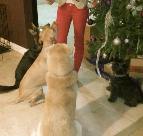 dogs, christmas dogs