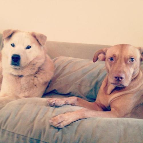 dogs on couch, cute dogs