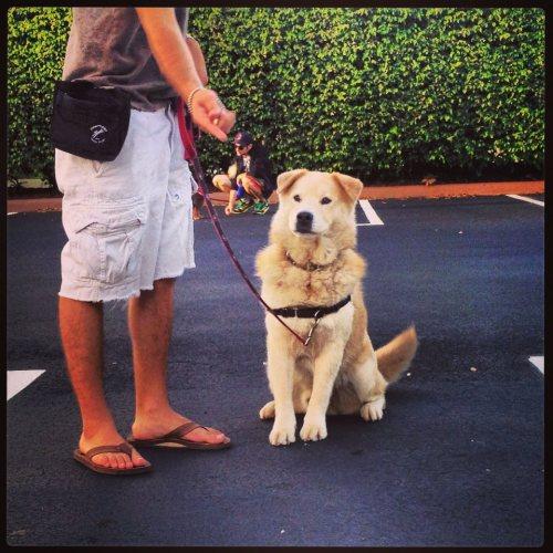 dog, dog training